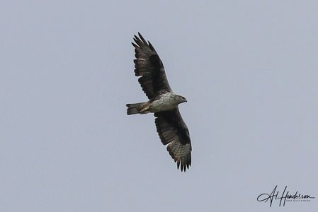 Bonelli's Eagle is occasionally sighted around the Ebro Delta, one of Spain's rare birds of prey