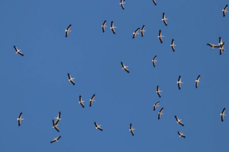 White Storks migrating over the Ebro Delta. Viewed on one of our bird watching tours in Spain