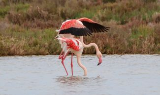 Greater Flamingos viewed on a recent bird watching tour of the Ebro Delta