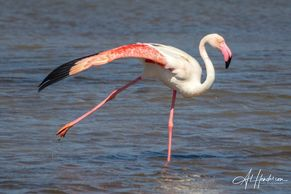 Greater Flamingo is a year round resident on the Ebro Delta
