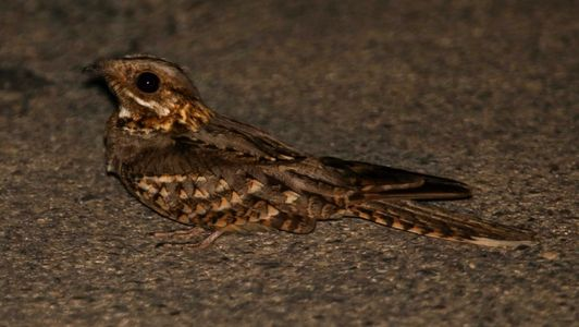 Red-necked Nightjar can be found close to your accommodation when you book with Ebro Delta Birding