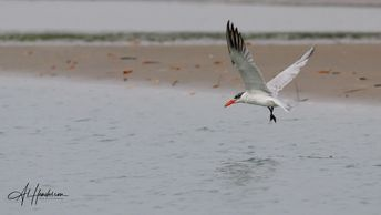 Caspian Tern can be seen in passage around the Ebro Delta during spring and autumn