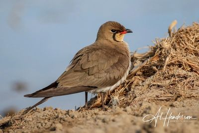 Collared Pratincole is a frequently requested species with our bird watching clients!