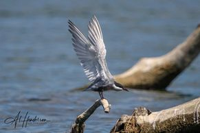 Whiskered Tern, a variety we can see on bird watching holidays on the Ebro Delta. Birding in Spain