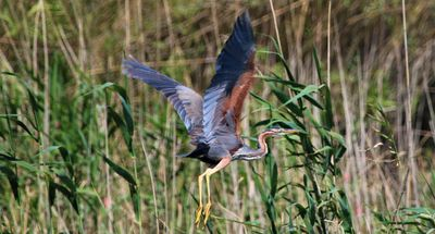 Magnificent Purple Heron bursting out of reeds on our Ebro river boat tour!