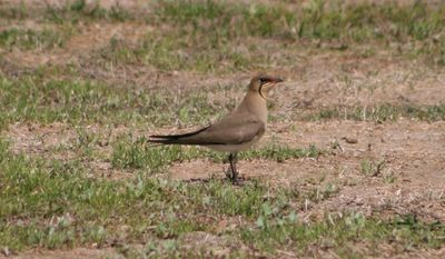 The Ebro Delta provides you with a great chance to see rare breeds, like this Collared Pratincole.
