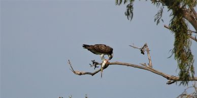 Osprey, birding in Spain, bird watching tours in Spain, bird watching destinations