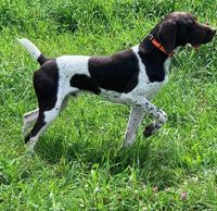 King is a German Short Haired Pointer.