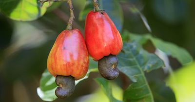 cashew apple, cashew nuts growing, natural cashews