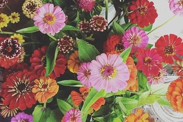 brightly colored maine grown zinnias