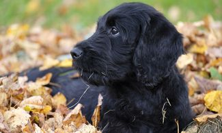 Fall toxins dangerous to pets, puppy in leaves