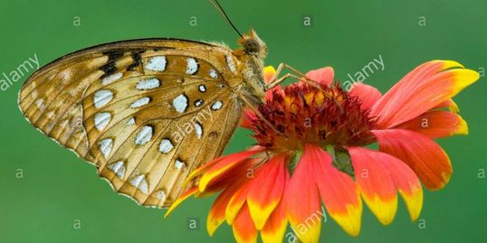 Great Spangled Fritillary Speyeria cybele on Gaillardia Flower E USA