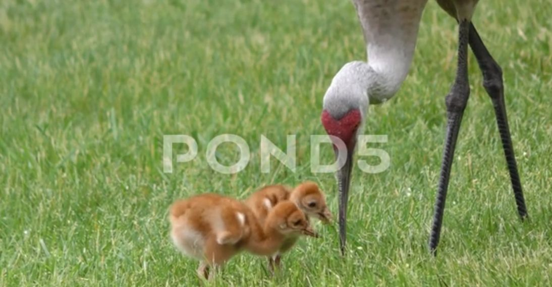 Sandhill Crane (Grus Canadensis) With Young, E USA