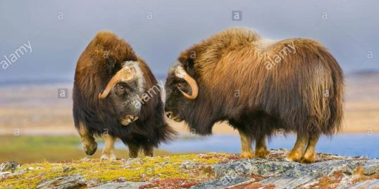 Musk Ox (Ovibos moschatus)sparring, Nunavik region, N. Quebec. Canada, September, by Dominique Braud