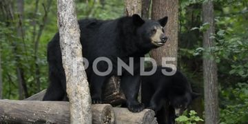 American Black Bear Adult And Cub, N. America