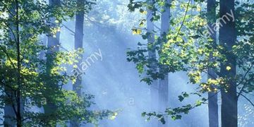 Light Rays filter through forest trees
