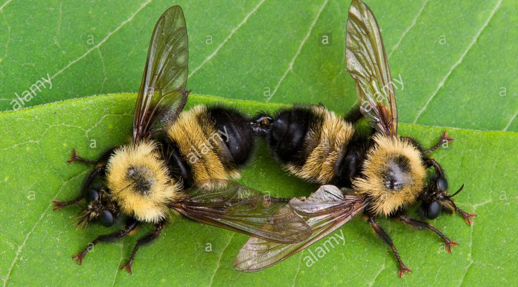 Stock Nature Photos, Nature Photography, Common Eastern Bumble Bees (Bombus sps) mating