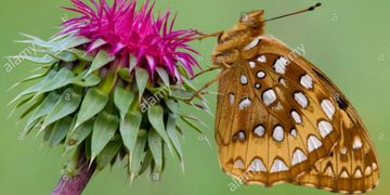 Aphrodite Fritillary Speyeria aphrodite on Nodding Thistle Eastern USA