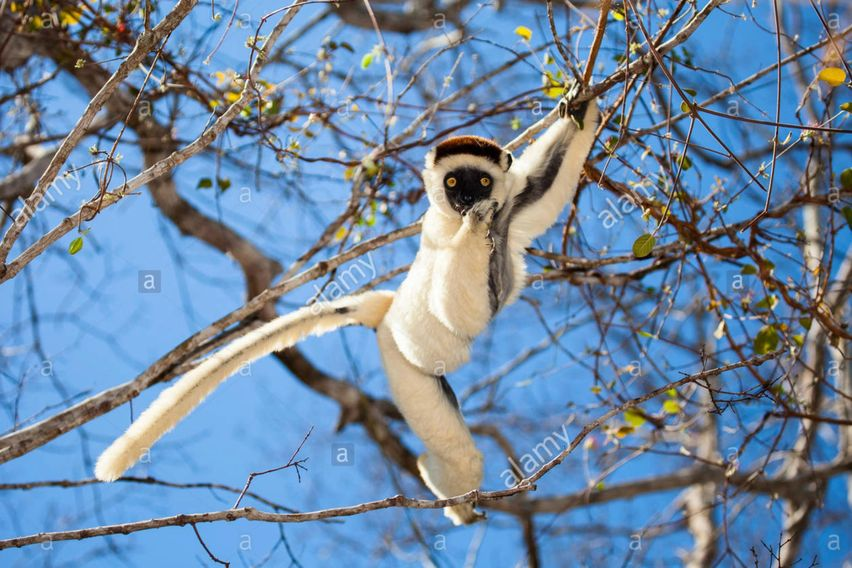 stock nature photos, for sale, stock nature photography, Verreaux's sifaka, Madagascar