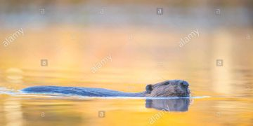 Beaver (Castor canadensis), MN, USA, by Dominique Braud/Dembinsk Photo Assoc