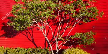 Tree and shadows of branches on red background early-morning light