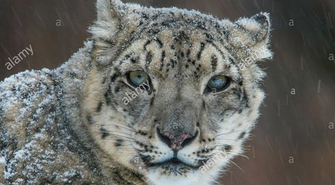 Snow Leopard (Panthera uncia), winter, Central & South Asia, filmed under controlled conditions