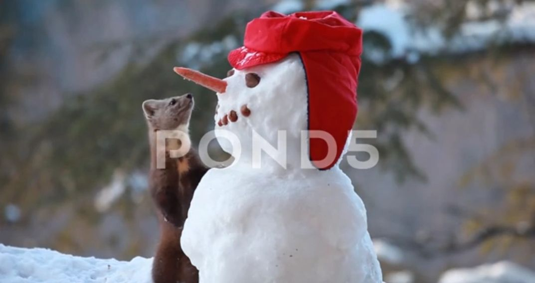 royalty-free stock nature video, stock nature video, royalty-free video, snowman, hat, pine marten