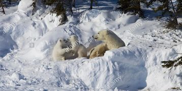 Polar Bear sow and two cubs Ursus maritimus in shelter, den, arctic tundra, Manitoba, Canada
