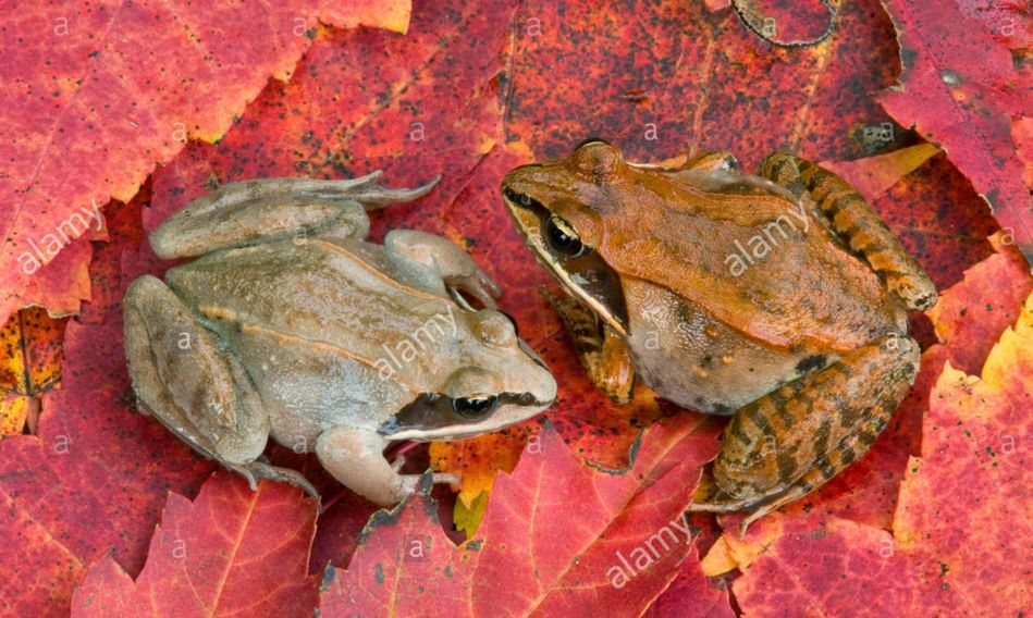 stock nature photos, stock nature photos for sale, stock nature photography, wood frogs, maple leaf