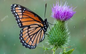 Viceroy butterfly Limenitis archippus gathering nectar pollinating Bull Thistle Cirsium vulgare