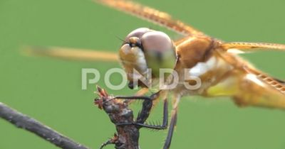 Halloween Pennant Dragonfly Eating Insect