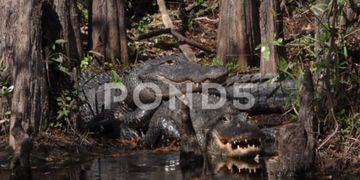 American Alligators, Southern Florida, USA