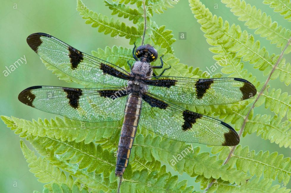 Twelve-Spotted Skimmer Libellula pulchella on fern frond E USA