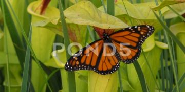 Male Monarch Butterfly Feeding On Yellow Pitcher Plant, SE, USA