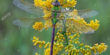 Common Green Darner Dragonfly (Anax junius) resting on Goldenrod flowers Solidago species USA