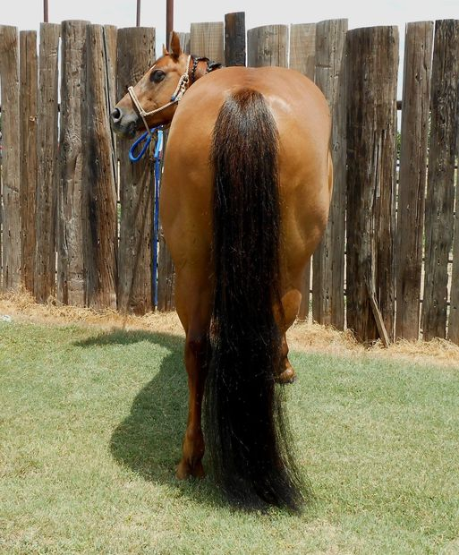 Long and healthy equine tails.