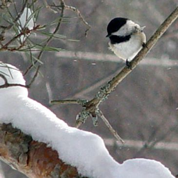 black capped chickadee, year round birding opportunities here