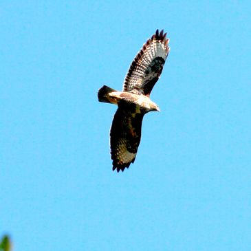 A buzzard flying over St Necterns Glen, Tintagel, Cornwall