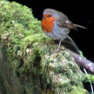 A small robin perched in St Necterns Glen, Tintagel, Cornwall