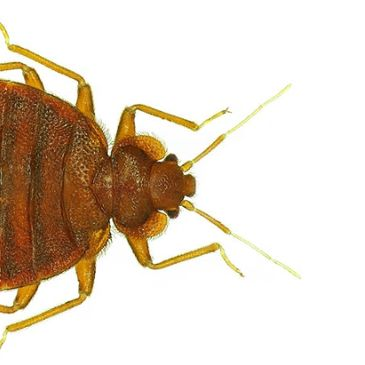 Pest Control, Flea Control, Bed Bug treatments, How do you get bed bugs, Bed bug pest control, Fleas