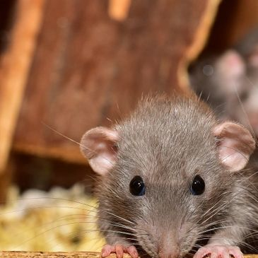Rodent Control, Rats in attic, Rodent in attic, Mice Control, Rat Control, wildlife control, noises