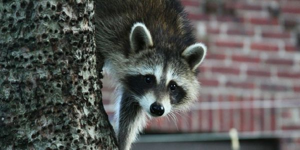 Bird Control, Wildlife control, Rodent control, Raccoons, rat control, mice control, rodent in attic