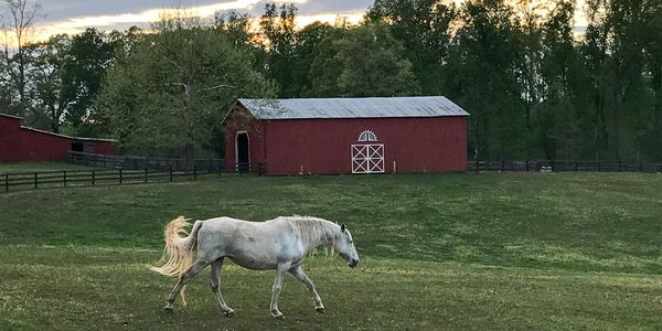 Horse walking across field with barn in background