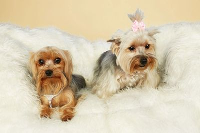 Yorkshire Terrier Yorkies Houston Texas Ethical Breeder Luxury Small Dog Puppies Adoption Purse