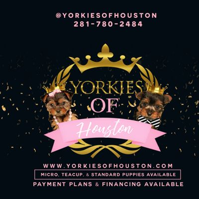Take Your Yorkie Puppy Home Today and Pay Later with Payment Plans and Financing