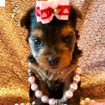 Yorkies of Houston - Puppies, Yorkshire Terrier, Dog