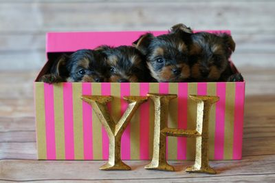 Yorkshire Terrier Puppy Yorkies Houston Texas Breeder Ethical Luxury Small Dog Puppies Adoption Best