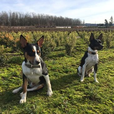 Most important team on our organic farm, our 'rodent patrol' rat terriers Max and Chico.