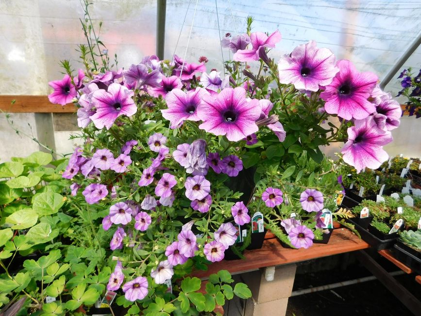 Blooming annual flower basket in our garden shop.