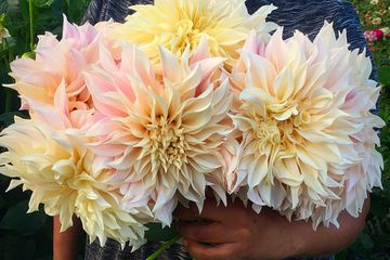 Late summer, dinner-plate dahlias are stunning in arrangements. Available in our Farm Stand!